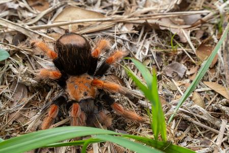 Mexican Fireleg (Brachypelma boehmei) the beautiful tarantula stays on ground and grass, nature background. Selective focus. Stock Photo