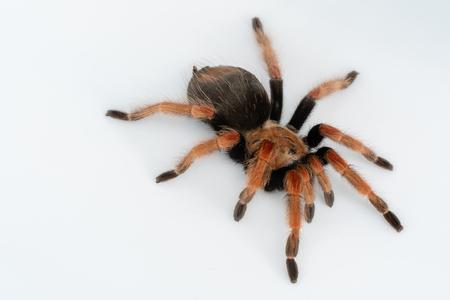 Mexican Fireleg (Brachypelma boehmei) the beautiful tarantula on white background isolated. Selective focus.