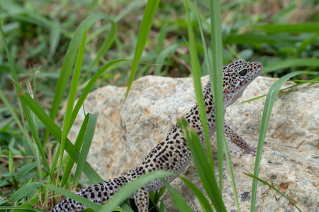 Adorable leopard gecko morph mack snow (Eublepharis macularius) on ground, grass, nature background. Selective focus.