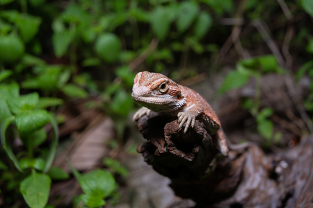 Pogona or also known as bearded dragon stays on cork woods with green nature background at night.