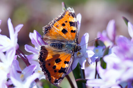 nymphalis: Scarce tortoiseshell butterfly  nymphalis xanthomelas  first spring feeding after awakening  The wings are not ready for normal flight yet