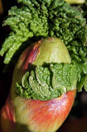 eatable: Rhubarb bud 2  Spring growth of perennial medicinal, eatable, ornamental plant                         Stock Photo