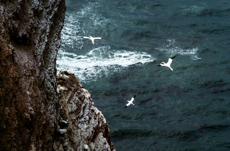 Mountain cliff formation at the coast of Helgoland in the German north sea. Northern gannets and sea gulls flying around searching for fish. Perfect travel destination with cooler weather.