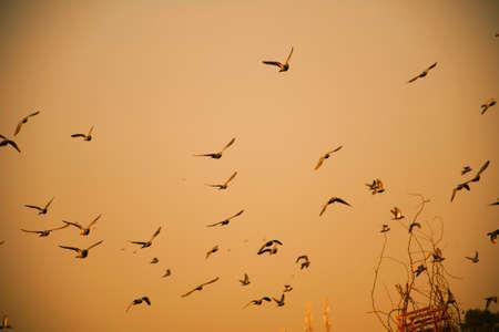 Domestic pigeons / feral pigeon (Gujarat - India) flock in flight against blue sky