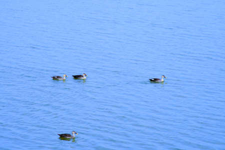 Duck on water scene. Duck water. Duck swim. Ducks swimming water Duck in the River/Lack at Kutch, Gujarat, India