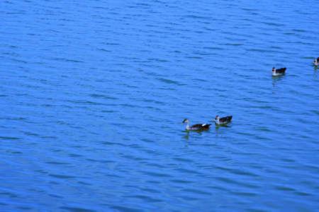 Duck on water scene. Duck water. Duck swim. Ducks swimming water Duck in the River/Lack at Kutch, Gujarat, India
