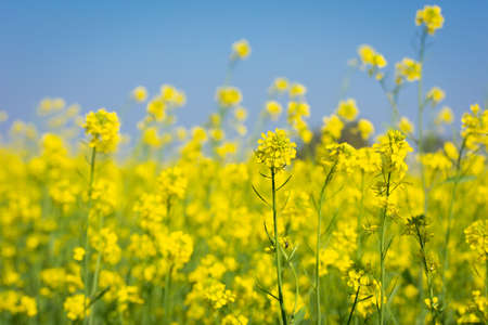 Beautiful yellow and green mustard flowers