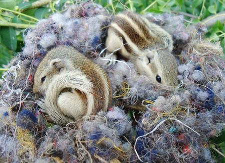 twee baby eekhoorns liggen te slapen in hun nest