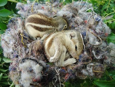 zwei Baby Eichh�rnchen sind in Ihrem Nest schlafen. Lizenzfreie Bilder - 8019457