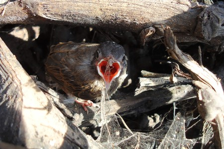 fearing: hungry baby robin is fearing