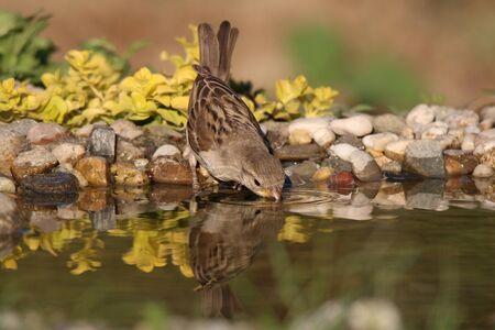 Bird drinking water on hot summer day