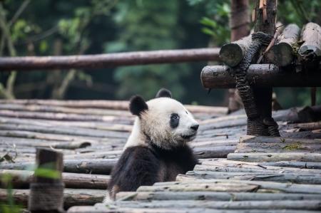 Panda in the jungle photo