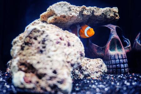 ocellaris: Nemo fish in the hidden skull