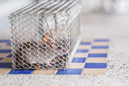 Rat in a cage Stock Photo