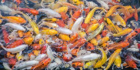 koi: Colorful fancy carp fish, koi fish