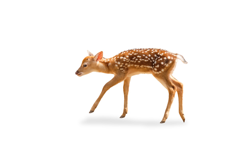 little chital or cheetal deer (Axis axis),on white isolate