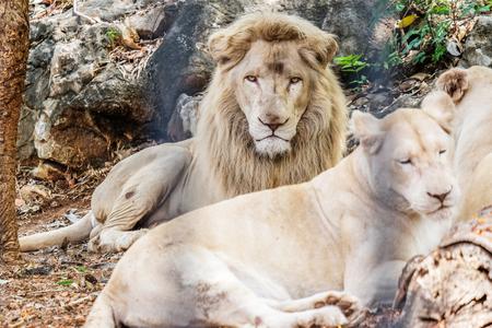 cruel zoo: Male Lion in Cage Stock Photo