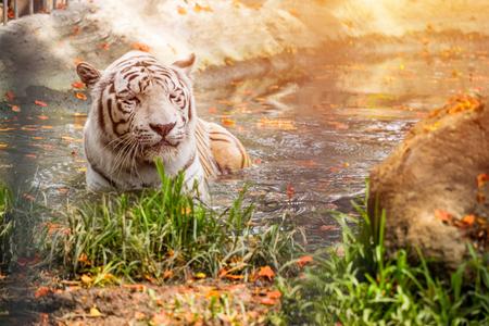 White Tiger sleeping in water