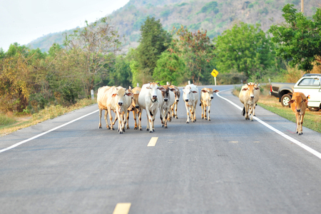 cud: Cows on the street