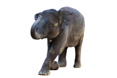 The elephants on white background with clipping path