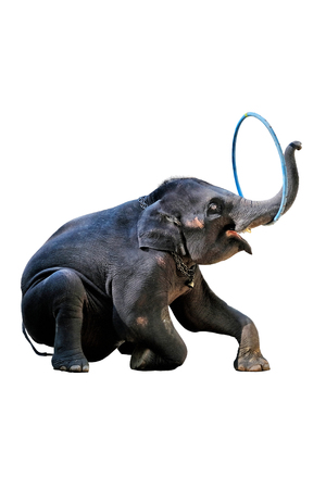 The elephants showing their skill of playing ,hula hoop on white background with clipping path