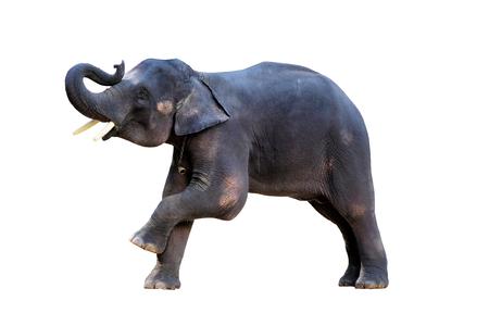 The elephants on white background