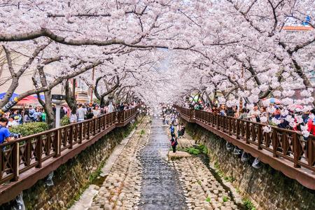 1 AVRIL 2018: De nombreux touristes sont venus à Jinhae, en Corée du Sud, pour voir de belles fleurs de cerisier en fleurs lors du festival Jinhae Gunhangje qui s'est tenu du 1er au 10 avril 2018