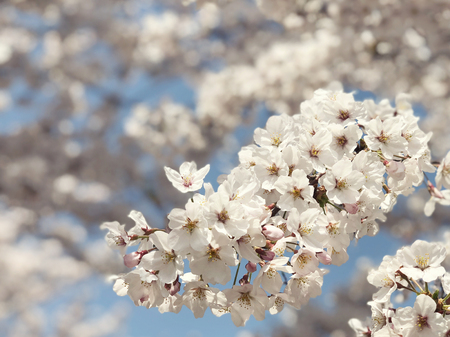 Beautiful blooming cherry blossom [sakura] detail and close up at Springtime is South Korea