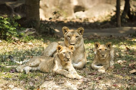 become: With a similar environment to Africa, Thailand easily become a new home for this lion family with only little change in their habitats.