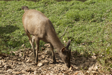 subcontinent: The sambar (Rusa unicolor) is a large deer native to the Indian subcontinent, southern China and Southeast Asia.