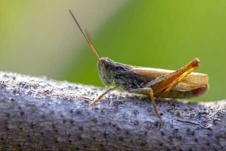 photo macro beautiful brown-green grasshopper sitting on a branch