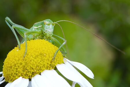 A large green grasshopper sits on a daisy