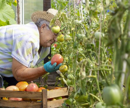 An elderly woman collects ripe large red tomatoes in her garden