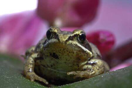 Siberian brown brown little frog that sits on a flower petal Stock Photo