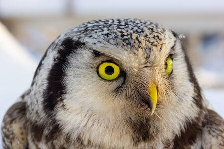 close up photo of an owl bird with beautiful yellow eyes and curved beak