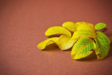 wilting: yellowing leaves of a tea rose on a brown background. autumn backgrounds. space for text