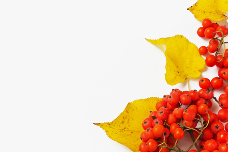 branch of red mountain ash and autumn leaves on a light background. autumn motifs. copy space background photo