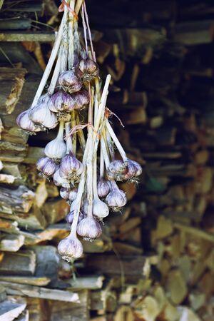 Gesammelt Knoblauch Ernte. Bio gesunde Lebensmittel. Selektiver Fokus