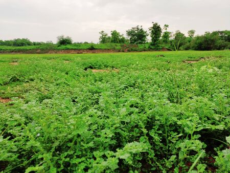 Leafy Vegetables In green grass in countryside farm in monsoon season Foto de archivo