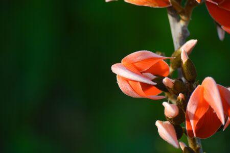 Butea Monosperma or Palash Flower
