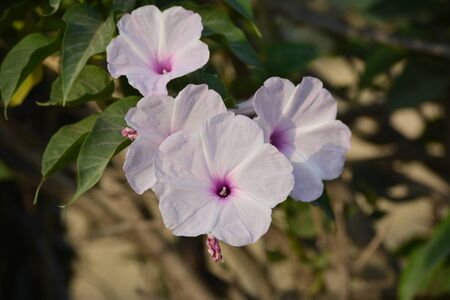 Pink morning glory or Ipomoea carnea flowers in the garden