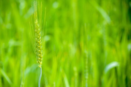 Close up of young green wheat on the field