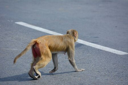 Baby monkey cross the Road, Concept saving Animals Standard-Bild