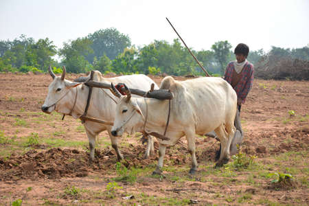 TIKAMGARH, MADHYA PRADESH, INDIA - SEPTEMBER 21, 2020: Unidentified Indian farmer working with bull at his farm, An Indian farming scene.