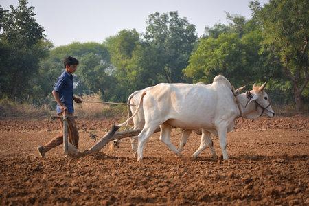 TIKAMGARH, MADHYA PRADESH, INDIA - NOVEMBER 23, 2020: Unidentified Indian farmer working with bull at his farm. Publikacyjne