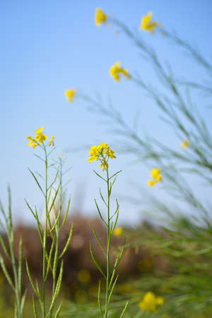 Mustard yellow flowers blooming in agriculture field