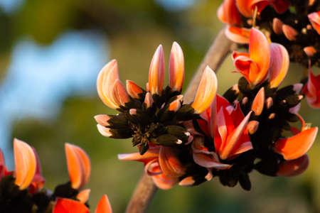 Bastard teak flower bloom in india