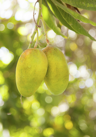 mango tree: mango close up