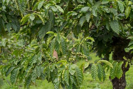 arbol de cafe: semillas de caf� en una planta de caf�
