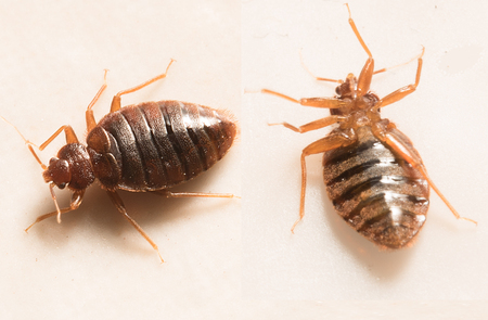 bugs: close up view of two bed bugs Stock Photo